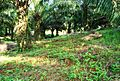 Perkebunan kelapa sawit milik rakyat (81).JPG