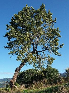 arbre a avocat
