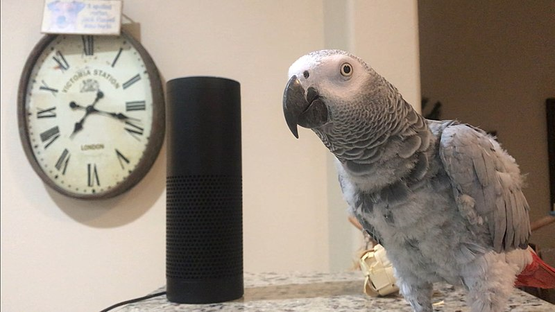 File:Petra the African Grey and her Amazon Echo Alexa.jpg