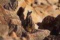 Petrogale penicillata (34525142554).jpg