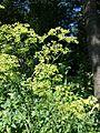 Peucedanum alsaticum sl4.jpg