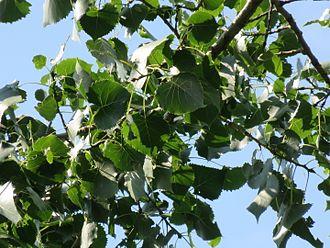 Populus deltoides - Image: Peuplier deltoïde feuillage