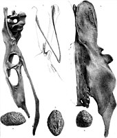 Gizzard stone, and pelvic and wishbones