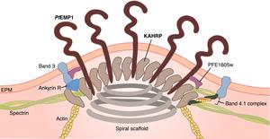 Plasmodium falciparum erythrocyte membrane protein 1