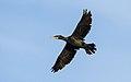 Phalacrocorax carbo, Sète.jpg