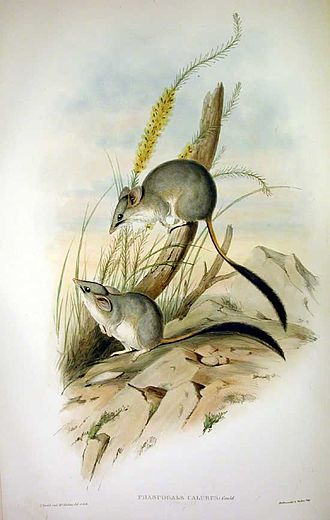 Toolibin Lake - Red-tailed phascogale
