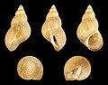 Phasianella variegata 01.JPG