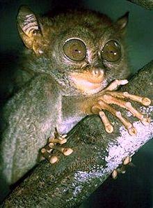 220px-Philippine_sarangani_tarsier