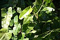Philodendron burle-marxii 2zz.jpg