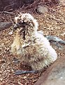 Phoebastria irrorata chick.jpg