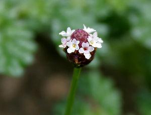 Phyla nodiflora (syn. Lippia canescens, Lippia...