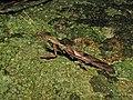 Phyllocrania paradoxa (Hymenopodidae) (6939396041).jpg