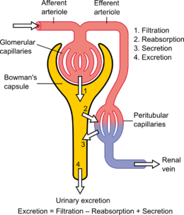 Kidney wikipedia schematic diagram of the nephron yellow relevant circulation redblue and the four methods of altering the filtrate ccuart Images