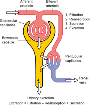 English: Physiology of Nephron
