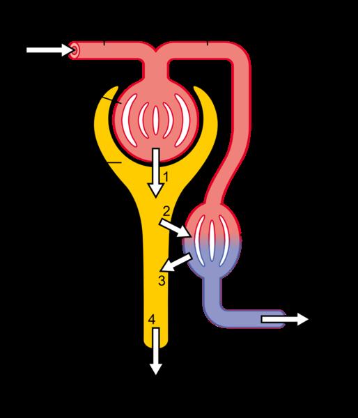 Kidney function scheme