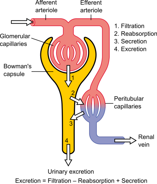Nephron wikiwand fig1 schematic diagram of the nephron yellow relevant circulation ccuart Images