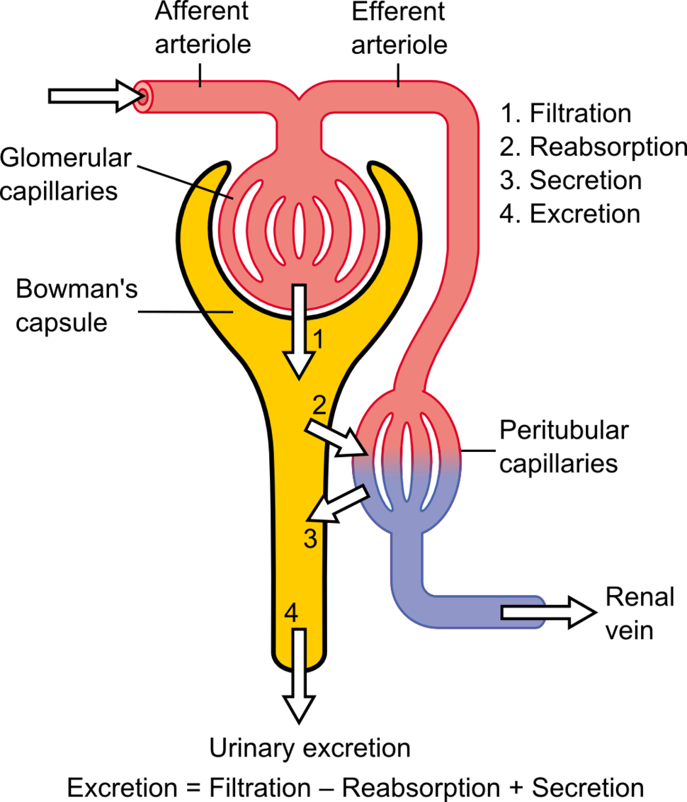 Physiology of Nephron