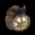 Phytelephas seemannii-jardin botanique-IMG 2708-black.jpg