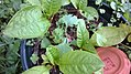 Phytolacca americana and Ginkgo biloba seedlings 01.jpg