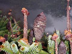Conos o flores femeninas del Pinsapo (Abies pinsapo)