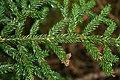 Picea orientalis 3.jpg