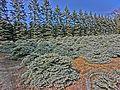 """Picea pungens""""Glauca Globosa""""-namabegarden JAPAN 201605.jpg"""