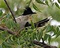Pied Cuckoo (Clamator jacobinus) W IMG 9555.jpg