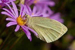 Pieris rapae - Feeding on the nectar of Aster amellus.