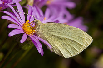 Pieris rapae - Feeding on the nectar of Aster amellus