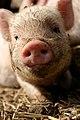 Pigs (5655183892).jpg