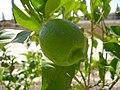 PikiWiki Israel 3758 Lemon.JPG