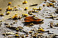 PikiWiki Israel 46621 Faul leaf.JPG