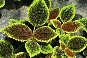 Description de l'image Pilea involucrata (Sims) Urban Moon Valley.jpg.