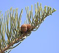 Pine Cone (3304689676).jpg