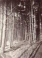 Pine forest, Visingsö island, Sweden (3504543752) (2).jpg