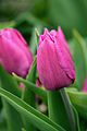 Pink Tulip.jpg