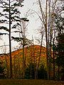 Pinus echinata Unicoi State Park.jpg