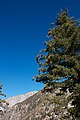Pinus lambertiana and Mt. San Antonio.jpg