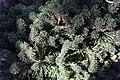Pinus mugo 1zz.jpg