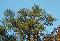 Pinus taeda Talladega NF Alabama.jpg