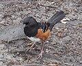 Pipilo maculatus in Stanley Park.jpg