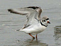 Piping Plover RWD2.jpg