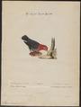 Pipra aureola - 1700-1880 - Print - Iconographia Zoologica - Special Collections University of Amsterdam - UBA01 IZ16600185.tif