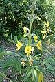 Piptanthus nepalensis kz01.jpg