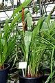 Pitcairnia atrorubens - Botanischer Garten - Heidelberg, Germany - DSC01236.jpg