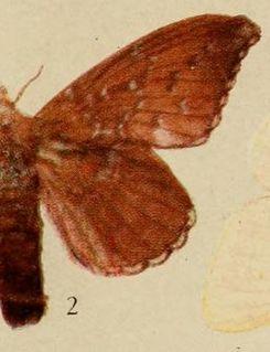 <i>Leipoxais</i> Genus of moths