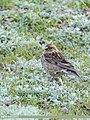 Plain Mountain Finch (Leucosticte nemoricola) (36197571391).jpg