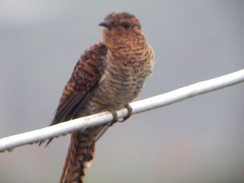 File:Plaintive Cuckoo.jpg