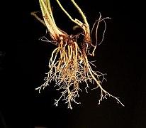 Plantago lanceolata 08 ies.jpg