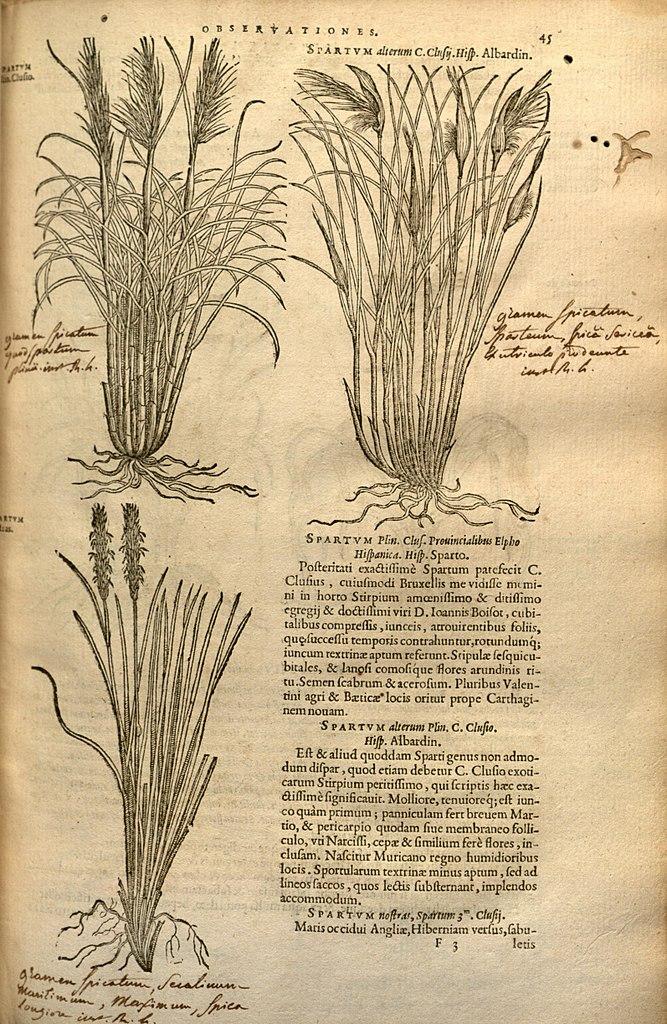 Fileplantarum seu stirpium historia page 45 bhl9871099g fileplantarum seu stirpium historia page 45 bhl9871099g sciox Gallery